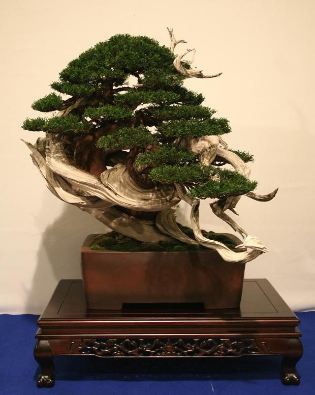 1000 images about bonsai driftwood style tanuki on for Unique bonsai trees
