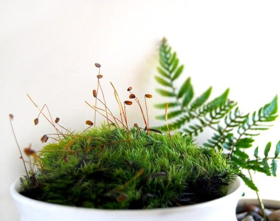 Mood Moss For Terrariums Fresh and Green SALE SALE by MissMossy, on Etsy