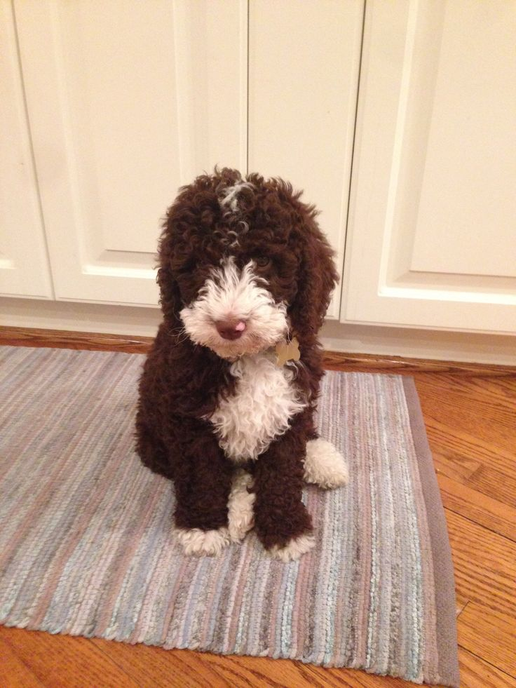My little tiny puppy Paco is a Spanish water dog