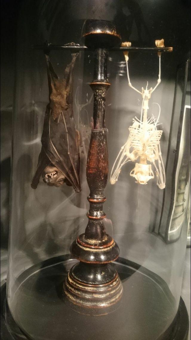 Taxidermy bat & bat skeleton