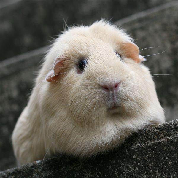 Love it when fur looks like chops.    Guinea Pig by WOAW - the world of animal welfare, via Flickr