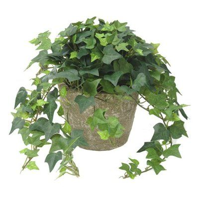 english ivy clean indoor air