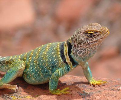 Eastern collared lizard!: Reptiles Amphibs Dragon, Collars Lizards, Ludicr Lizards, Repitles Lizards, Eastern Collars, Amphibians Reptiles, Reptiles Collection, Reptiles Amphibians, Leap Lizards