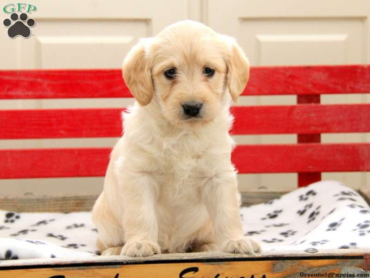 Muffin, mini labradoodle puppy for sale from Ephrata, PA