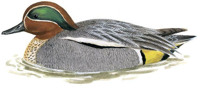 コガモ|日本の鳥百科|サントリーの愛鳥活動