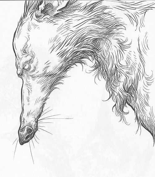 Chris Riddell (2013) Caricature of a wolf from his sketchblog. He uses ink, either with a pen or brush, with more detail being in the facial areas and fur, uses cross hatching to darken areas such as on the nose and ear. Has a certain way of styling the eyes, which sometimes gives his illustrations a semi creepy look such as this one