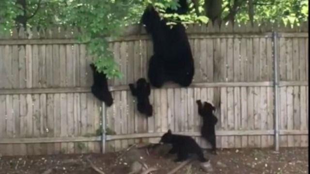 Watch as a mother bear and her 4 cute cubs attempt to climb over a fence. One cub had a tough time getting over, but at last finds a way underneath to rejoin the family. Awesome!