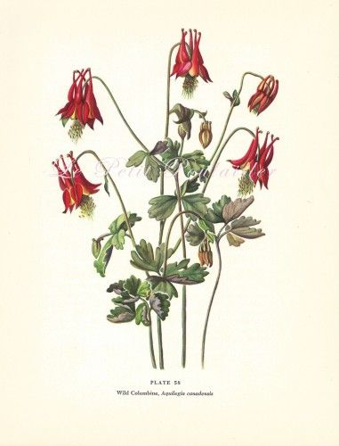 Columbine Flower Line Drawing : Best images about tattoo ideas on pinterest columbine