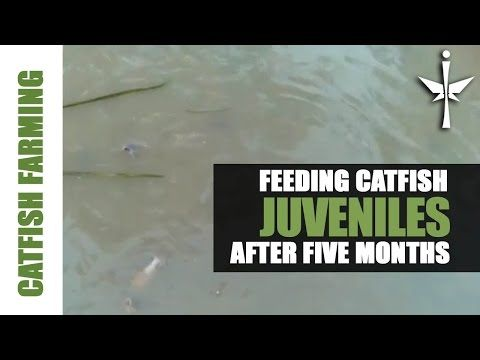 Catfish feeding after Five (5) months - YouTube