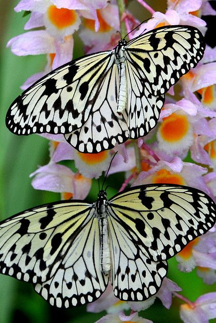 The Paper Kite, Rice Paper, or Large Tree Nymph butterfly (Idea leuconoe) is known especially for it's presence in butterfly greenhouses and live butterfly expositions. The Paper Kite is of Southeast Asian origin.