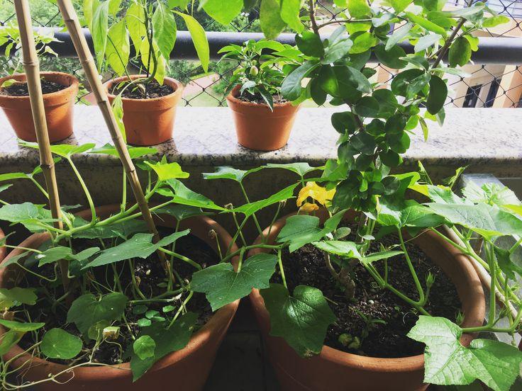 Novamente tentando cultivar abóbora mini jack, mas dessa vez a evolução está bem melhor do que na primeira tentativa. Eu já tinha observado isso com outras plantas e com a abóbora novamente ficou nítido que toda vez que eu deixo uma planta trepadeira se alastrar naturalmente o desenvolvimento é melhor.   #minhasplantas #minhahorta #saberesdojardim #hortadeapartamento #abobora #aboboraminijack #aboboramini #hortaemvasos #hortanavaranda