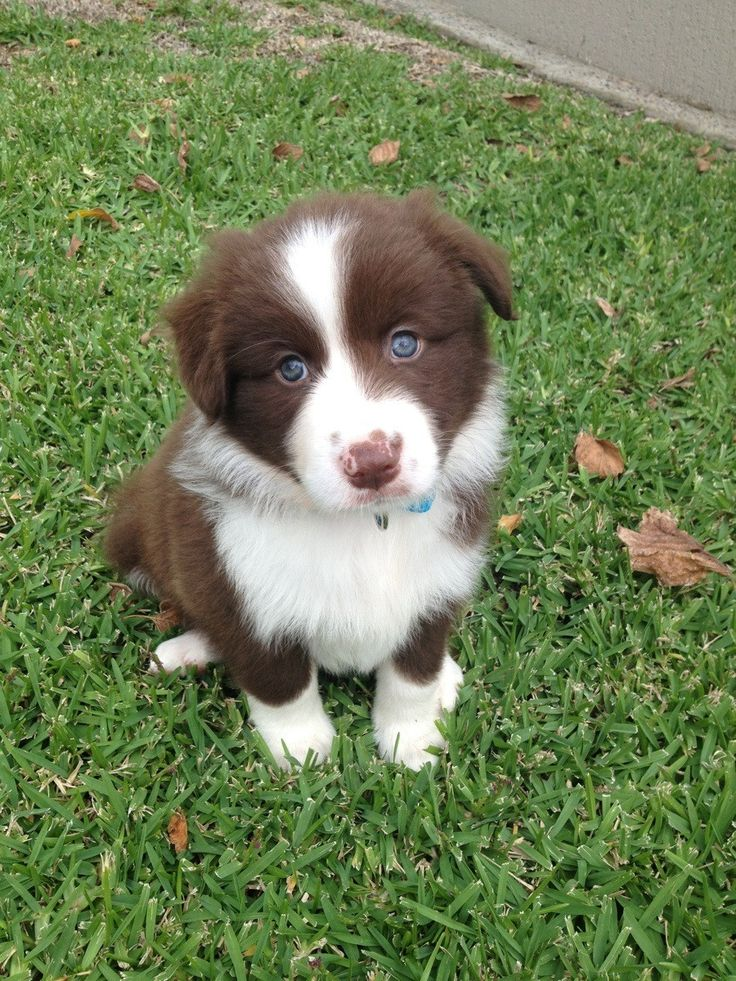 This Lovely Baby Border Collie Say's Please Adopt A