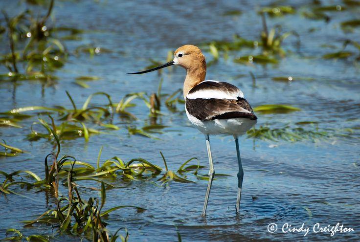 American Avocet - Whitewater Lake, Manitoba