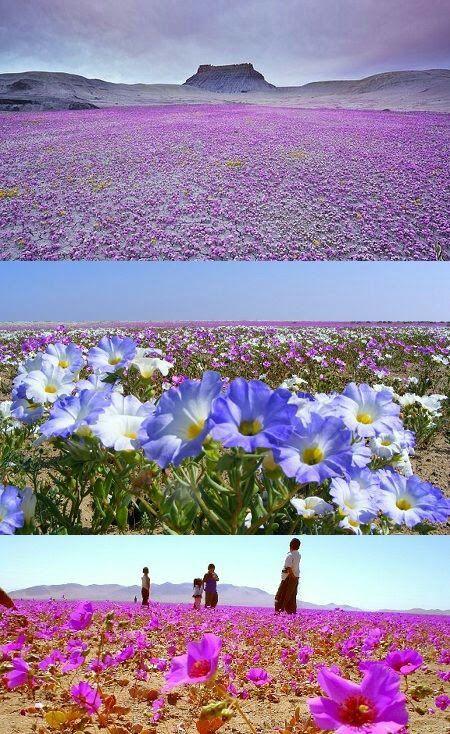 Chile 💕 Desierto florido 💕 - Nora Laurente -