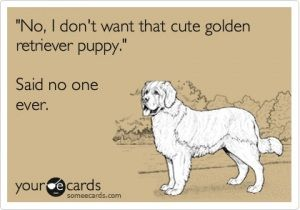 Everyone loves golden retriever puppies:)