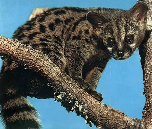 The Asian palm civet (Paradoxurus hermaphroditus), also called toddy cat, is a small member of the Viverridae family native to South and Southeast Asia.  Kopi Luwak is coffee prepared using coffee cherries that have been eaten by the animal, partially digested, and harvested from its feces. Kopi Luwak is currently the most expensive coffee in the world.