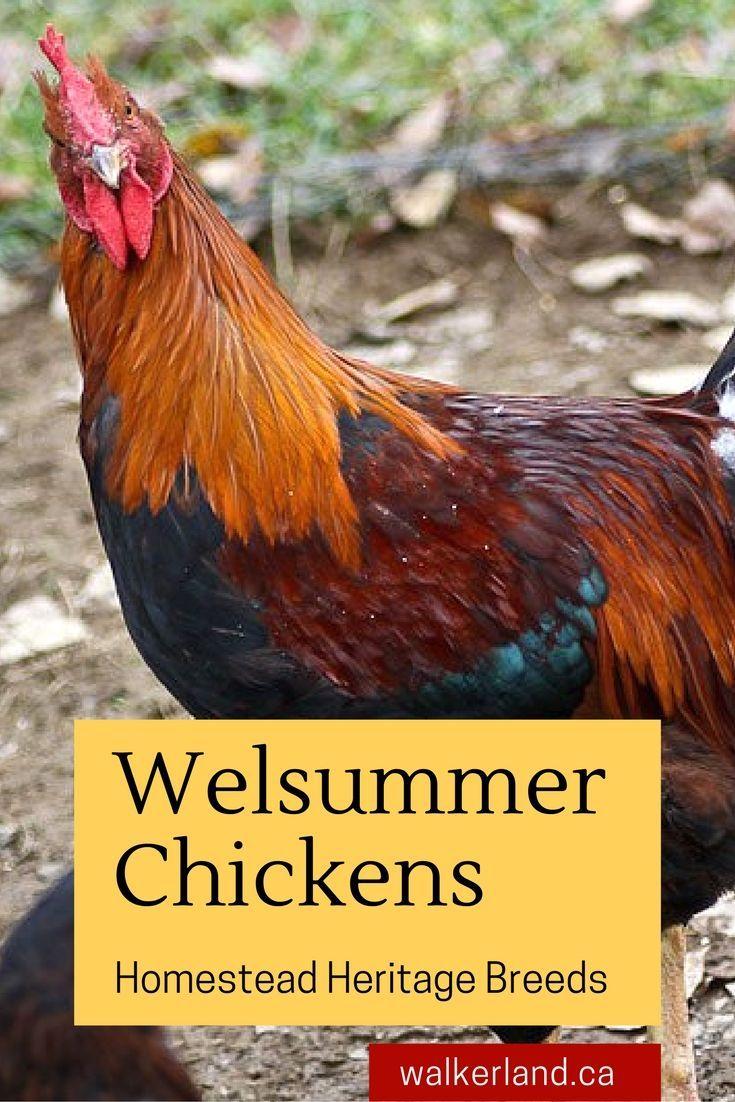 14 best chicken breeds images on pinterest chicken breeds