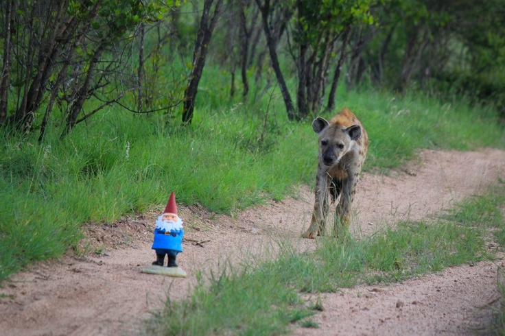 I get the feeling someone is following me.  | #roaminggnome #southafrica #africa #travelocity