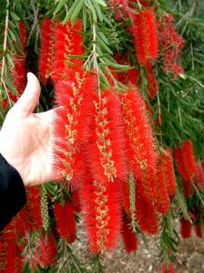 flores maceió floricultura 2;. Callistemon