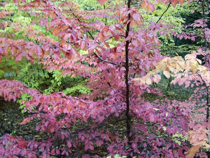 17 best images about deciduous trees for zone 6 on pinterest pistachios trees and cherries - Fall landscaping ideas a mosaic of colors shapes and scents ...
