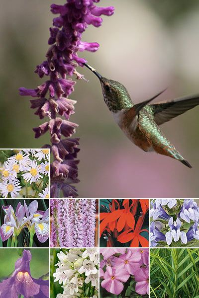 17 Best ideas about Hummingbird Plants on Pinterest