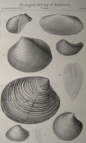 "Pl.15 Paleontology vol. II (Tertiary). A detailed lithographic print of fossilized shells by M. Gabb from his book ""Geological Survey of California"". This book was Published by Authority of the Legislature of California by Bowen and Co. 1864 & 1869. First Editions. Two Volumes. Vol. 1, [xx] 243 pp. Vol. 2, [xvi], 299 pp. The book featured A total of 68 engraved plates of fossils with printed tissue guards. Carboniferous and Jurassic Fossils. Triassic and Cretaceous Fossils. Overall this..."