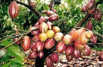 Ibirapitanga (Bahia) Brasile | CACAU Vale a pena plantar - Por Confcio Moura - Rondoniaovivo ...