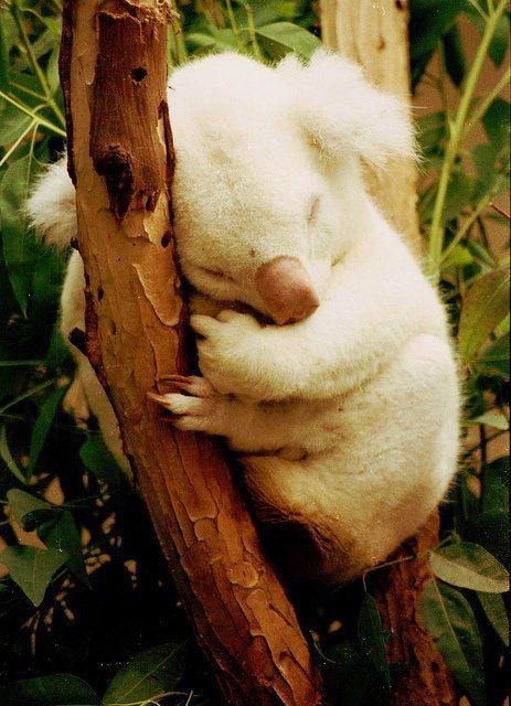Albino Koala, beautiful. So cute please check out my website thanks. www.photopix.co.nz
