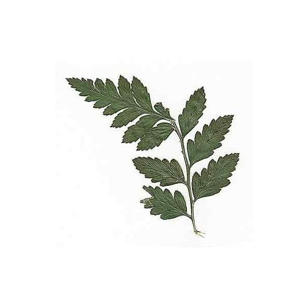 Pressed Leather Fern - Real Pressed Flowers (5.93 CAD) ❤ liked on Polyvore featuring home, home decor, floral decor, fillers, plants, flowers, backgrounds, flora, green home decor and flower stem