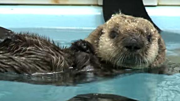 Newborn baby sea otter and mom show off their cuddling skills ...