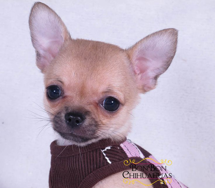 There are plenty of chihuhuas in the animal shelter, in North Carolina 250,000 are put down every year. Please don't sell dogs on Pinterest.