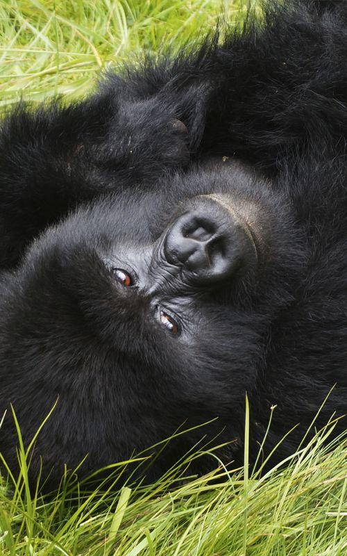 Gorillas trekking in Rwanda: travel tips and much more www.espressofiorentino.com Trekking con gorilas en Ruanda: consejos de viaje y mucho más  #Rwanda #Ruanda #Africa #Animals #Gorilla #Gorillas #travel #viajar #viajes #espressofiorentino #espresso #fiorentino