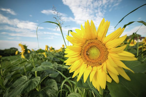 Sunflowers in the field. Sun on the ground.