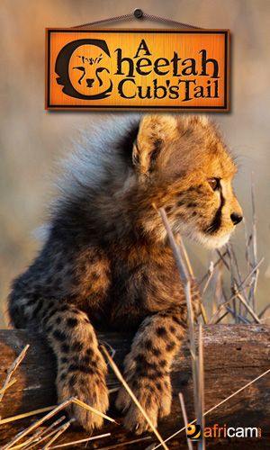 "Cheetah Cubs LIVE - These cute baby animals are live 24/7 from HESC. Be a part of cheetah conservation, and watch baby cheetahs on ""A Cheetah Cub's Tail"" as they eat, play and prepare for their hopeful re-introdcution into the wild."