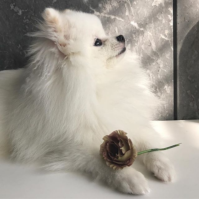 beautiful day @cooper_the_pompom Double tap to ❤️ Follow for more cute pics @thedailypomeranian Find us on Facebook - link in our bio Follow our partner @cool.angel369_ ❤️ #pomeranian
