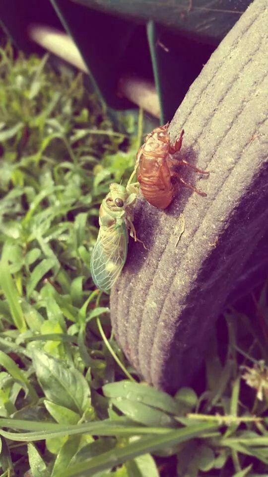 Sara's cicada