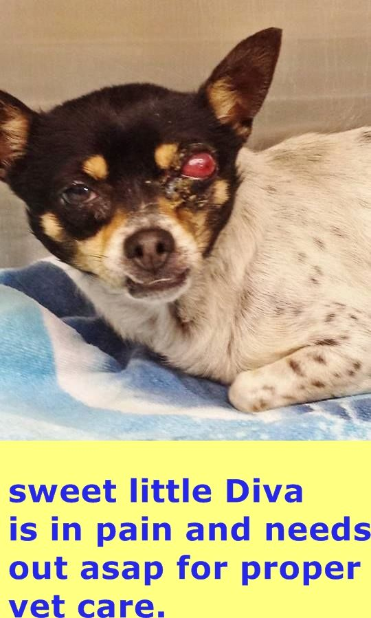 Sweet DIVA was surrendered to the shelter and she is going to need treatment for her eye. Please SHARE, a FOSTER would save her life. Thanks! #A4407547 My name is Diva and I'm an approximately 5 years, 10 month old female chihuahua sh. I am at Carson shelter, California. https://www.facebook.com/171850219654287/photos/pb.171850219654287.-2207520000.1424118463./371878962984744/?type=3&theater