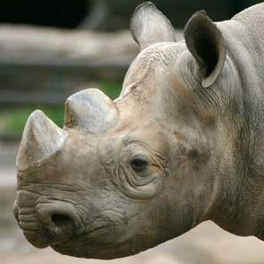 Black Rhino at Denver Zoo Denver, CO #Kids #Events