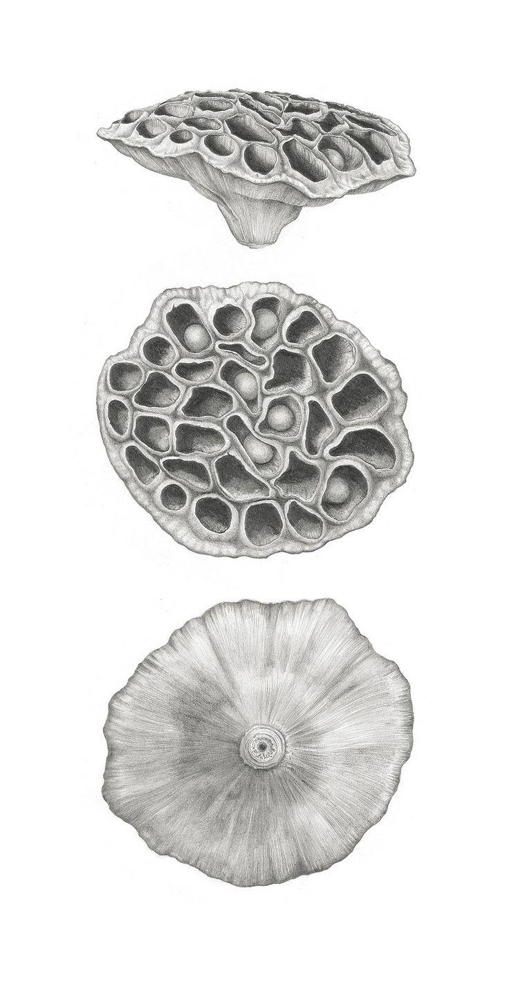 Lotus Seedpod Triptych - Ann Swan #botanical