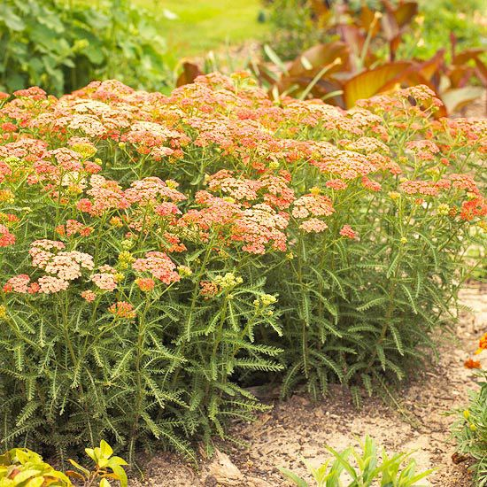 Yarrow        We love yarrow because it's beautiful and tough. In fact, this is one of the most maintenance-free perennials you can grow: It resists heat, drought, deer, and rabbits.        It's also a blooming machine, producing flat-topped clusters of yellow, orange, red, pink, or white flowers throughout the summer.        Zones 3-9