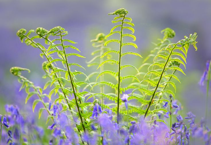 https://flic.kr/p/rm8QSp | Bluebells and Ferns | © 2015 Alan Mackenzie.  www.alanmackenziephotography.com  Facebook  Abbots Wood in East Sussex is an excellent location for bluebell detail shots. The lack of order makes clean landscape work difficult. The sight and scent of a bluebell wood is intoxicating and I'd recommend this 'legal high' to anyone.