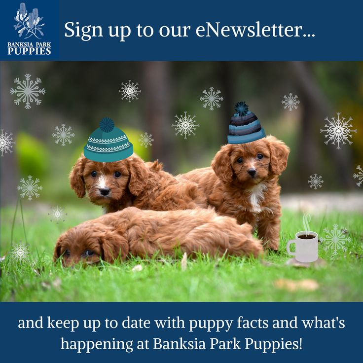 f you'd like to find out about what happens here at Banksia Park Puppies, puppy information and more...