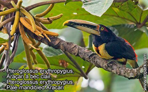 Pteroglossus erythropygius – Araçari à bec clair –Pteroglossus erythropygius –Pale-mandibled Aracari – xopark5