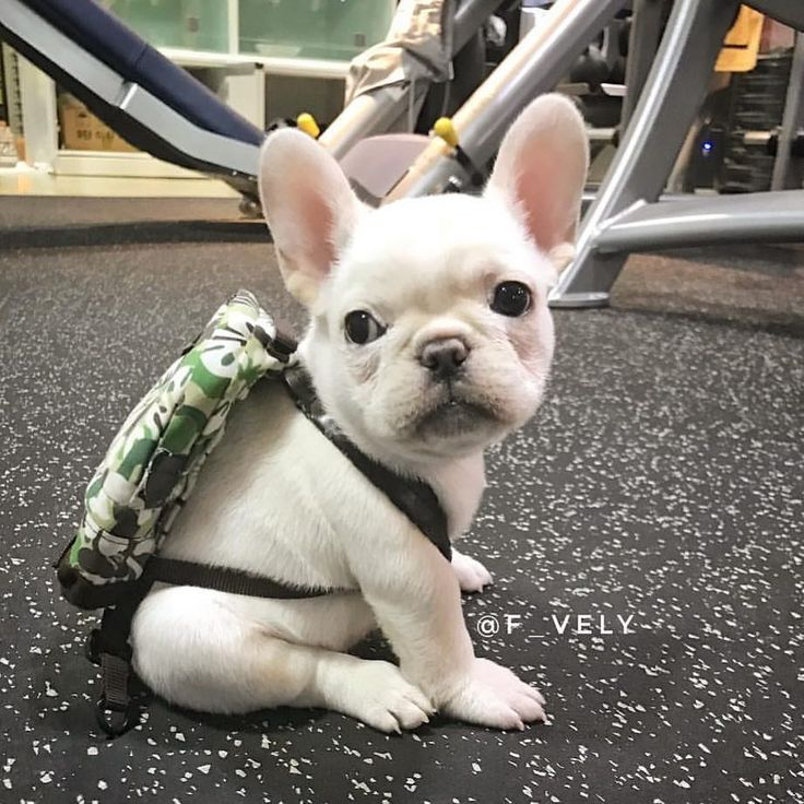 """36.1k Likes, 1,057 Comments – French Bulldog (charlotte calmels.1) on Instagram: """"@f_vely If you ain't giving me treats, I'm going to grandm…"""