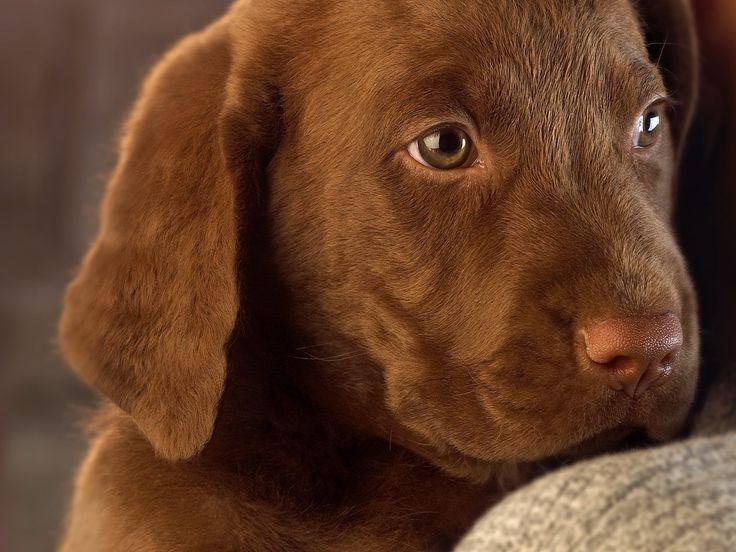 Chocolate Lab Puppies For Adoption Wa | BILSTA57.