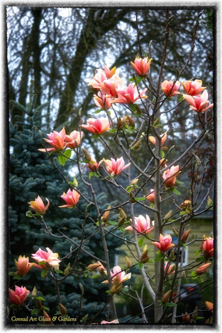 Magnolia Sunset Swirl In The Garden Of Larry Conrad Wisconsin