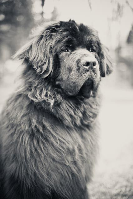 Beauty without Vanity, Strength without Insolence, Courage without Ferocity, and all the Virtues of Man, without his Vices. This Praise, which would be unmeaning Flattery if inscribed over human ashes is but a just tribute to the Memory of Boatswain,a Dog.  #Newfies #Newfoundland