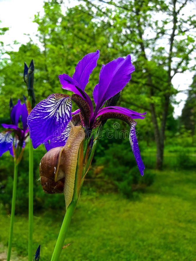 Snail On A Purple Iris Flower Close Up Affiliate Purple Snail Iris Close Flower Ad Purple Iris Iris Flowers Flower Close Up