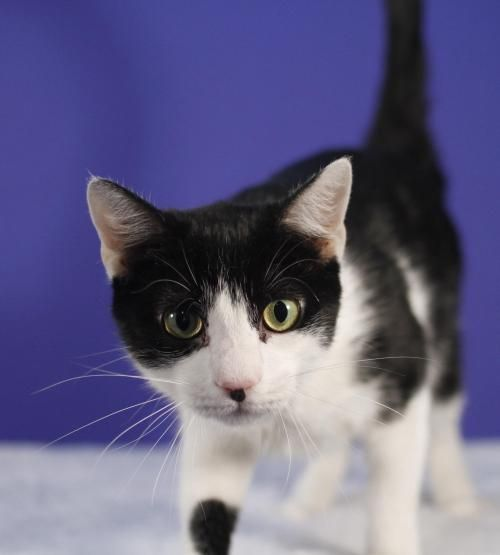 is an adoptable Domestic Short Hair-black and white Cat in Newark, NJ ...