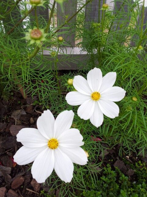 white cosmos, drawf , self-seeded